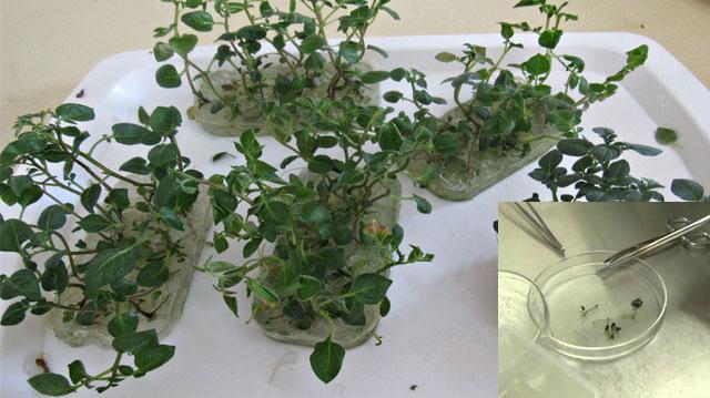 იტიტრონში უვირუსო კარტოფილის სინჯარის  მცენარეების ზრდა-განვითარებაზე მოქმედი ფაქტორები