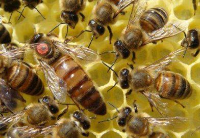 დედა ფუტკრის მიცემა ცრუდედიან ოჯახში ღია ბარტყის დახმარებით