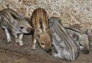 საქართველოში გავრცელებული ღორის ადგილობრივი გენოფონდი