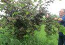 თხილის ბაღში ვიწყებთ რიგი აგრო-ღონისძიებების გატარებას