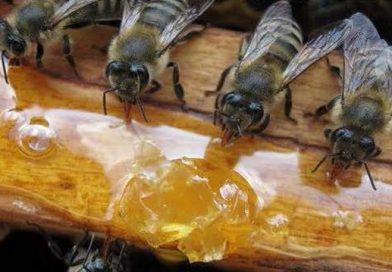 სკა, ფუტკრის ოჯახი და ფუტკრის კვება