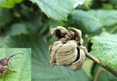 თხილის ტკიპა Tetranycopsis hostiles Reck