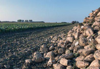 შაქრის ჭარხლის წარმოების აღდგენაში მოსახლეობის დასაქმების  დიდი რეზერვი დევს