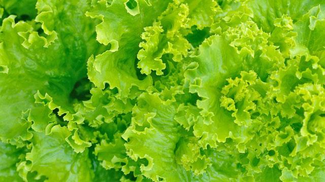 korysni-ლსალალ სალათის ფურცელი წ3333 zberegti-listya-salatu-na-zimu_2