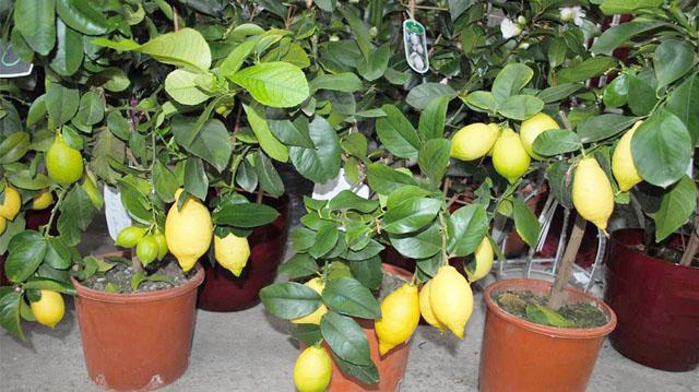 limon linom
