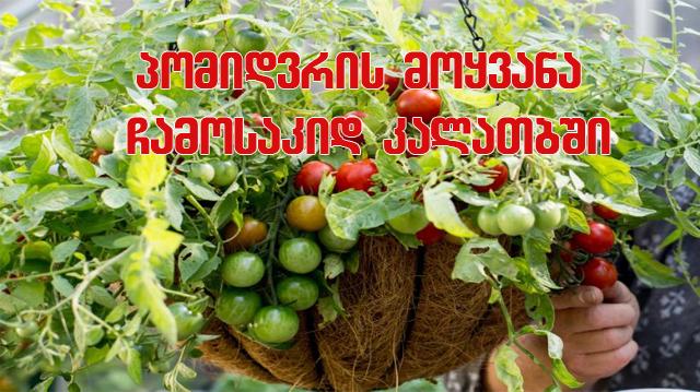 pomidri pomidori pomidoris