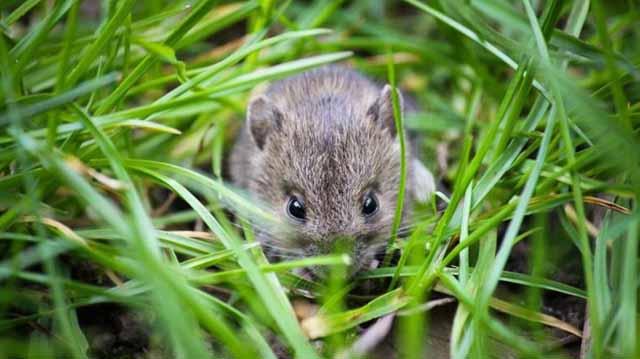 მინდვრის თაგვები ლკადლფკჯასდ