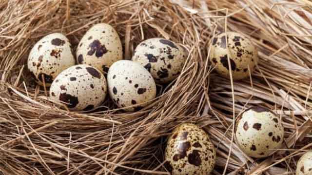 კვერცხი მწყრის მწყრის