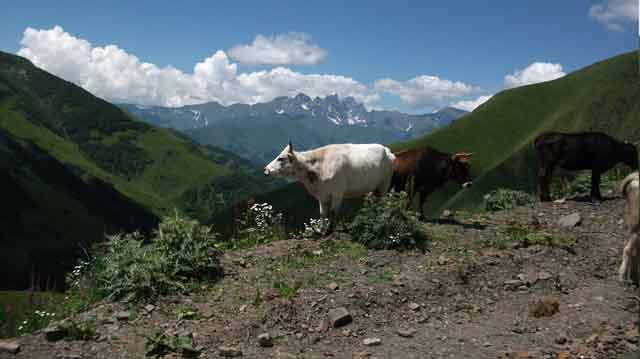 მთის ძროხა
