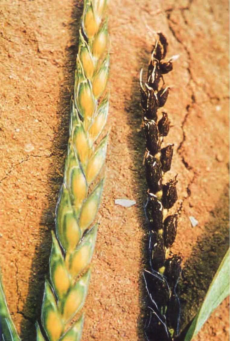 посылками привозят, головня пшеницы фото изделия