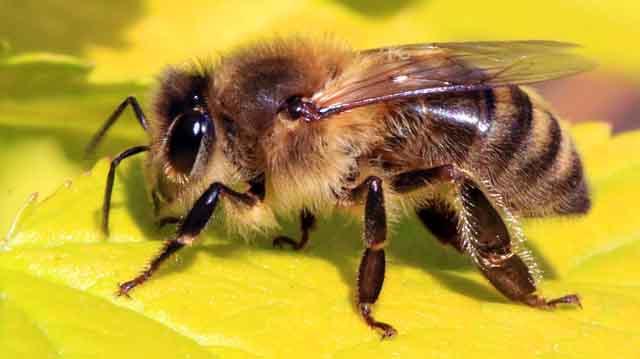 მთის ფუტკარი