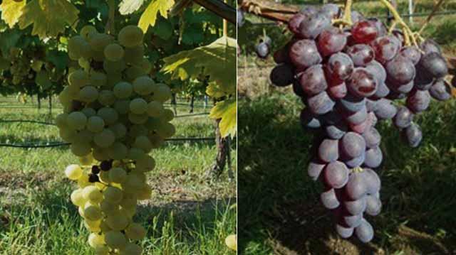 ყურძენი ლკალდჯფლკა