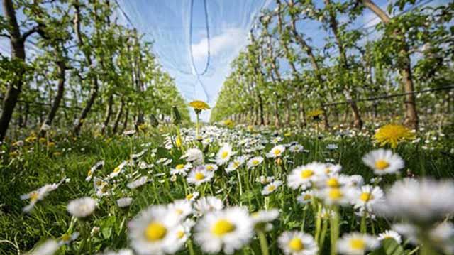 ვაშლის ბაღი ბაღი