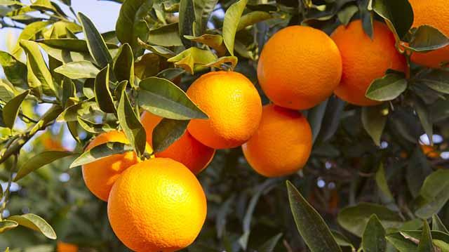 citrusi citrusilsdlfkjasdlkfj