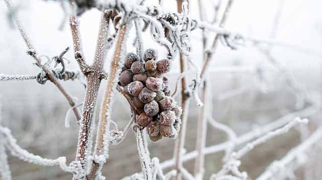 ყინულის ღვინო