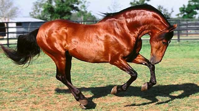 თუშური ცხენი ლდლფკადფა