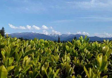 ტყიბულის მთის ჩაი