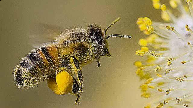 ფუტკარი როგორც აფთიაქარი