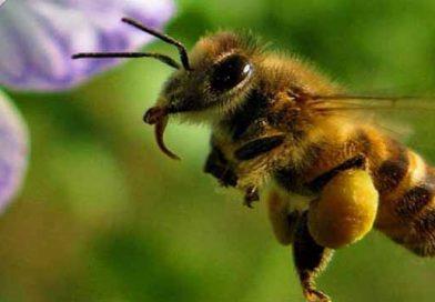 სადაც არ ბინადრობს ფუტკარი, იქ ადამიანსაც არ ეცხოვრება (მეფუტკრის თვალსაზრისი დარგში არსებული პრობლემების შესახებ)