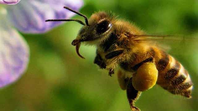 ფუტკარი ფუტკარი კალკდჯფლკასჯდ
