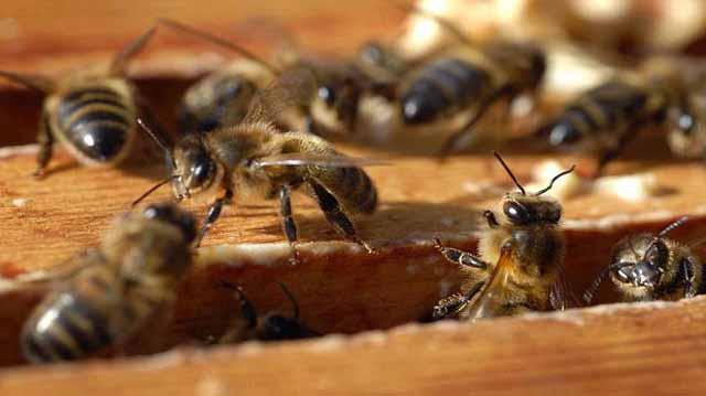 ფუტკარი ფუტკარი