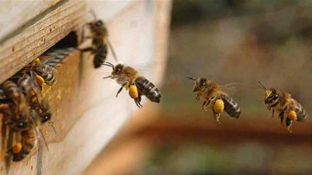 ფუტკარი ფუტკარი ფუტკარი