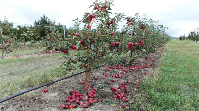 ფერმერები ერთ კილოგრამ არასტანდარტულ ვაშლზე 10 თეთრ სუბსიდიას მიიღებენ
