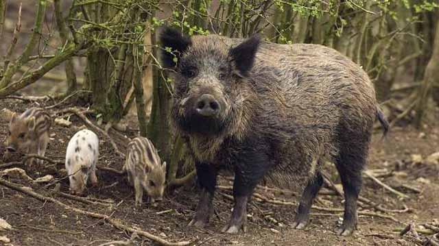 ღორი მომთაბარებ