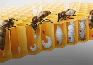 სახიფათო ცვლილებები ვაროა გამანადგურებლის (varroa destructor) ბიოლოგიასა და ქცევაში