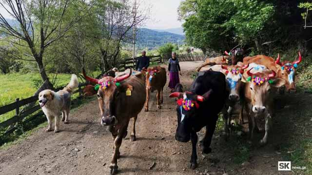 ძროხები ლლლლლ