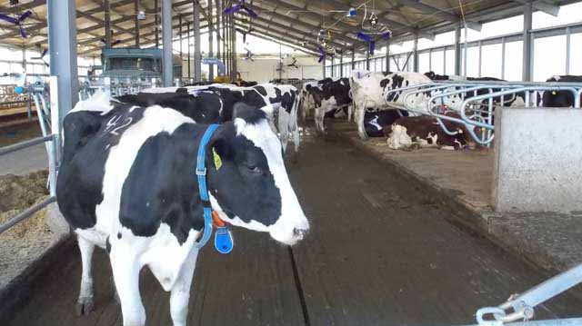 ძროხის სადგომი