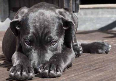 დეპრესია ძაღლებში