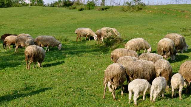 იმერულ ცხვარი სამი