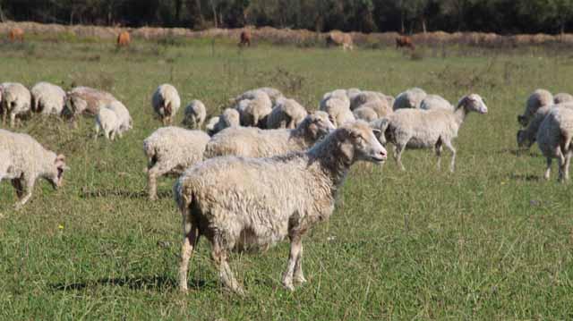 ცხვარი ცხვარი ლკჯასლდკფჯასკლდჯფ