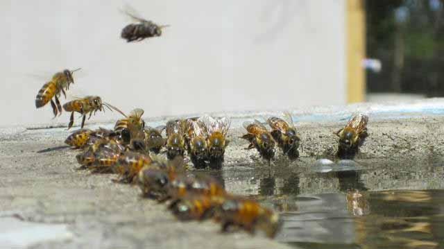 როგორ სვამენ ფუტკრები წყალს