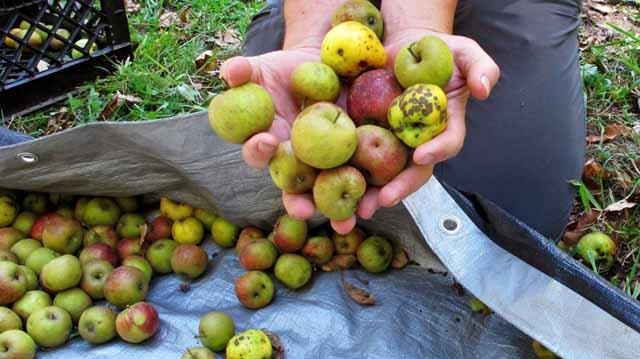 უსტანდარტო ვაშლი ვაშლი