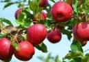 ადგილობრივი ვაშლის ჯიშების გაშენება მესხეთში და რამდენიმე მათგანის დახასიათება