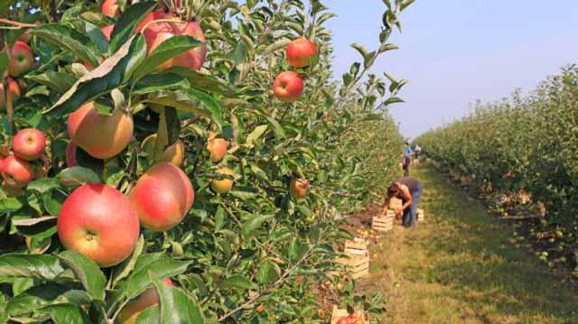 ვაშლის მოსვლის აღება კმლაკჯდლფჯასდფ